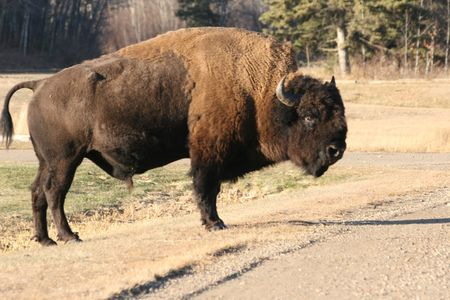 bison passing the road