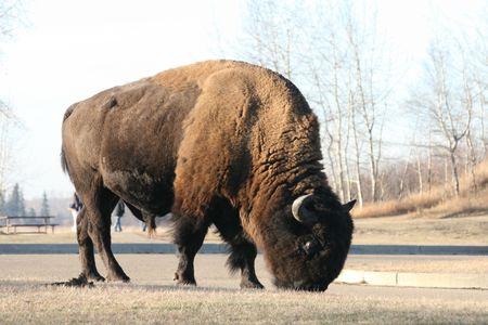 bull in the wild