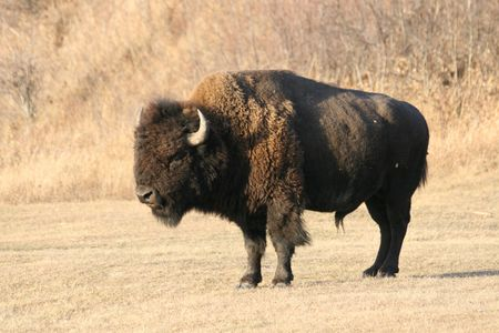 bison the guard Stock Photo - 5245765