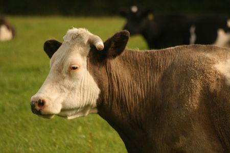 ruminate: white head cow