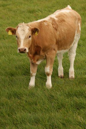 ruminate: red and white calf