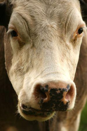 ruminate: chewing cow Stock Photo
