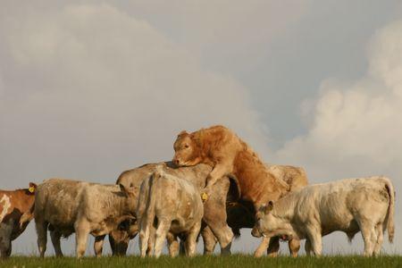 procreation: cows procreation