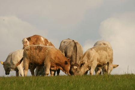 ruminate: beef cattle