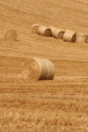 harvesting rye photo