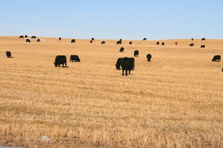 cows on the canadian farm, alberta photo