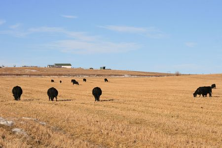 canadian beef cattle stays outdoor whole winter, alberta photo