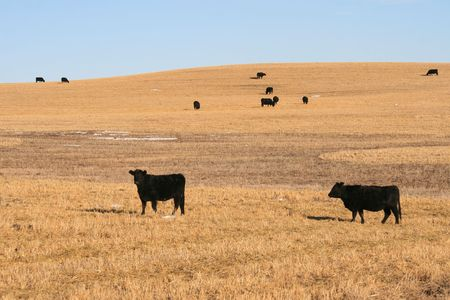 canadian beef cattle stays outdoor whole winter, alberta