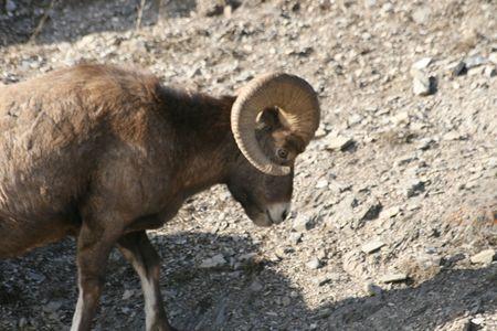 mouflon: caminar mufl�n