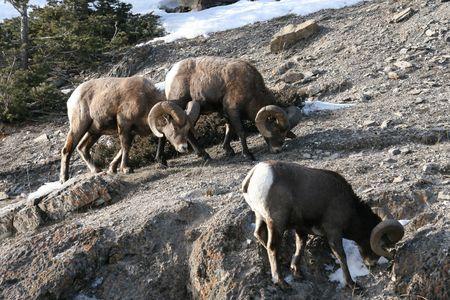 mouflon: hombres mufl�n Foto de archivo