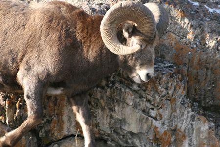 mouflon bull jumping down photo