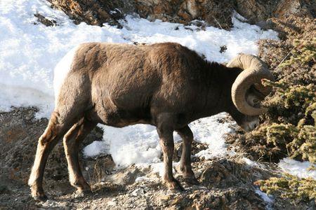 mouflon: mouflon on the snow