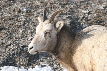 mouflon female close up photo