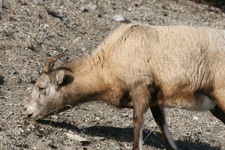 mouflon in canadian rockies photo