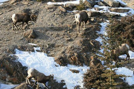 mouflon: mouflon on the slope Stock Photo