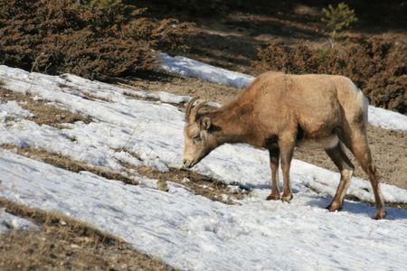 mouflon: mufl�n en Canad�, las monta�as Rocosas