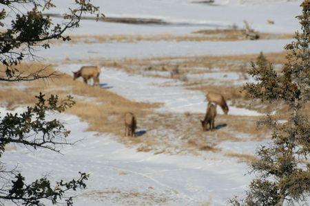 deer in Canada photo