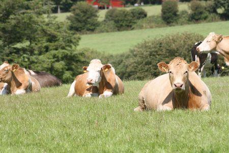 ruminate: siesta on the field Stock Photo