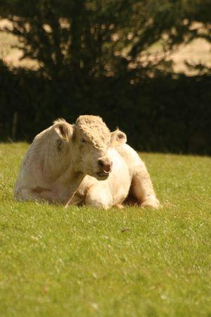 ruminate: sitting bull