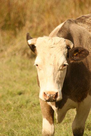 ruminate: cow in sunshine Stock Photo