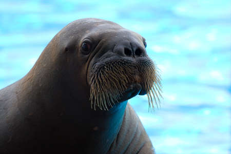Walrus posing happily on blue fuzzy background. Stock Photo - 4323399