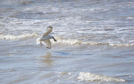 fished: The seagull flying over the sea has fished Stock Photo