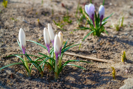spring flowers. First flowers. white spring buds. Blooming white bud flower. the bouquet grew from the ground.
