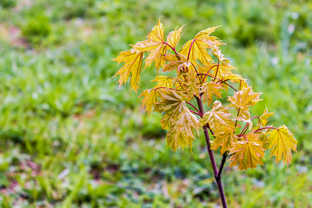 Young maple shoot. Sprig with leaves. Red young leaves on the grid.