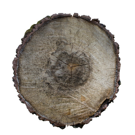 cross-section of a tree. Cross section of oak grove tree trunk showing growth rings isolated on white background. Фото со стока