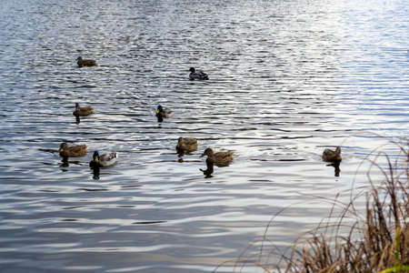 A flock of wild ducks floats on the water. Wild ducks on the pond general plan Banco de Imagens