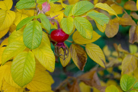 Red rosehip berry surrounded by yellowed autumn foliage. Rosehip on yellow foliage background