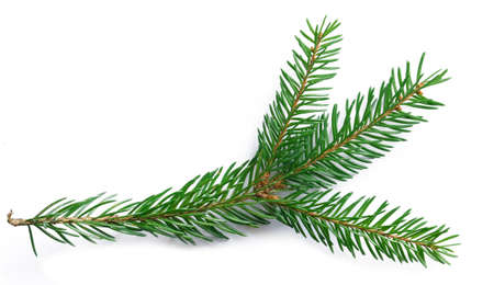 sprig of green spruce lies on a white background close-up isolated