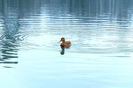 A wild duck swims on the smooth surface of a light blue reservoir. Lonely wild duck in the center of the lake