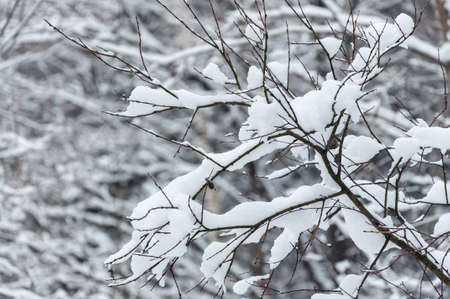 First snow on bare tree branches. Banco de Imagens