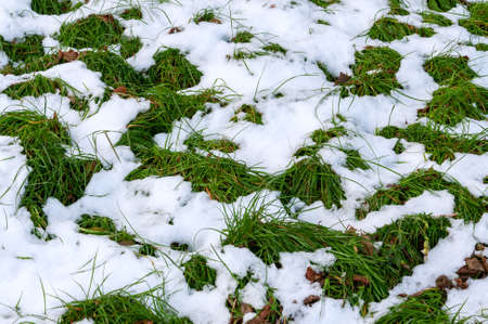 green grass on the lawn covered with snow. thawed patches of first snow on green grass. unexpectedly snow fell.