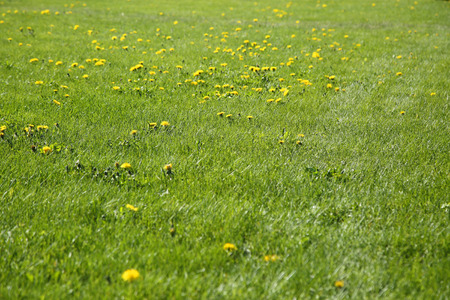 anthesis: blooming dandelions at sunny day on green meadow