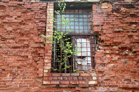 iron barred: Abandoned building from red brick: on window with bars grow birch