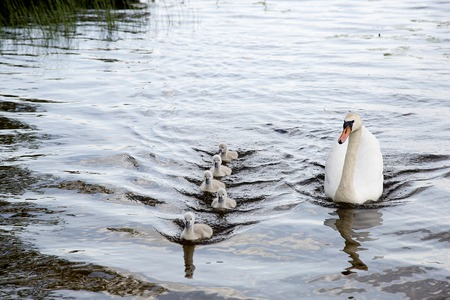 one adult: Swimming family of swans: one adult swan and five little