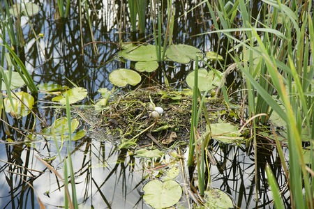 ornitology: duck nest with eggs in the grass on the lake Stock Photo