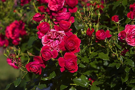 crimson colour: buds of red roses in the garden