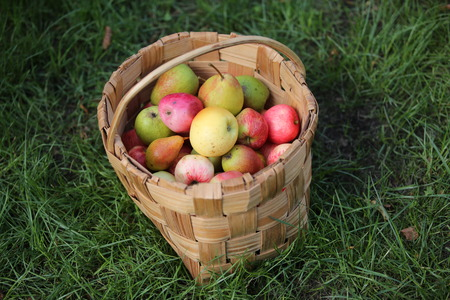 hojas de arbol: Organic apples and pears in basket in summer grass. Fresh apples in nature