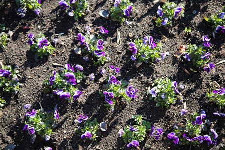 flowerbed: purple flowers in the flowerbed Stock Photo