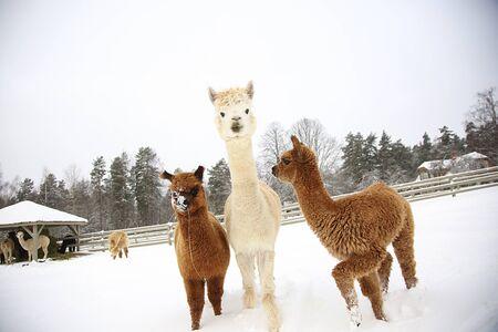 Alpacas in a farm of Europe. Winter time in Latvia Фото со стока