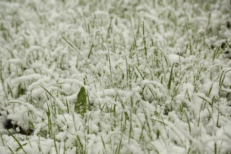 green grass in the snow in the may Standard-Bild