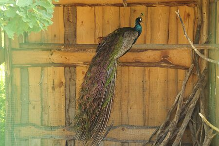 peacock on a branch in a cage. Animal farm