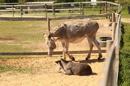 Mother and baby donkeys on the floral meadow. Animal farm