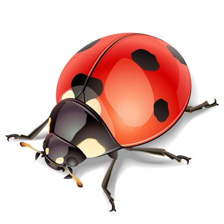 Ladybird-vector illustration Illustration