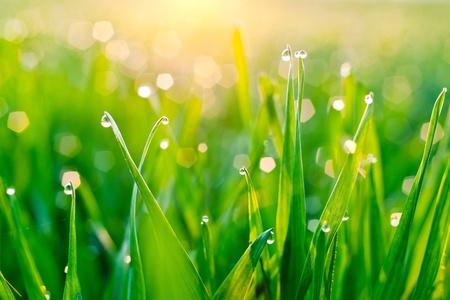 Rugiada di mattina sulle lame di erba durante l'alba Archivio Fotografico