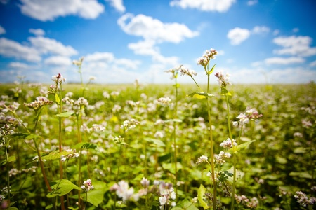 Buckwheat field in sunny day photo