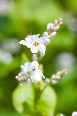 Macro photo of flower buckwheat